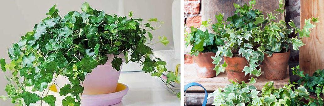 planta hiedra
