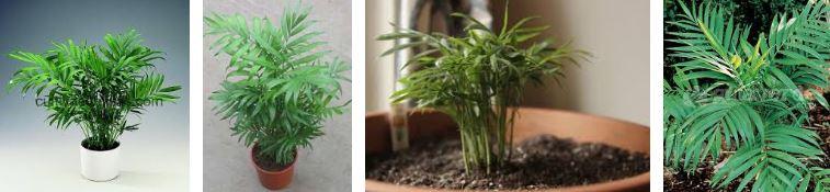 planta palmera de salón