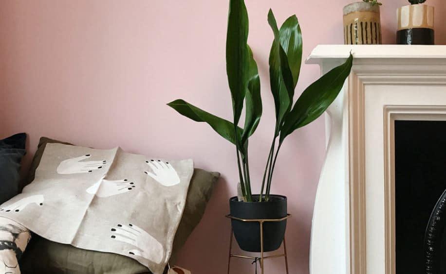 planta aspidistra