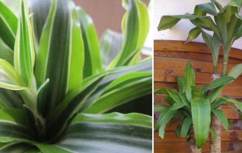 planta tronco de brasil
