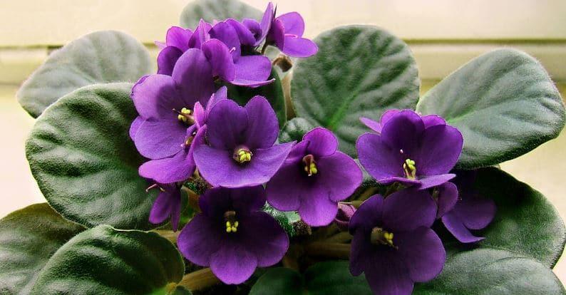 Saintpaulia o violeta africana
