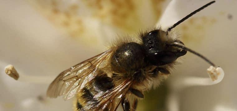 abejas solitarias